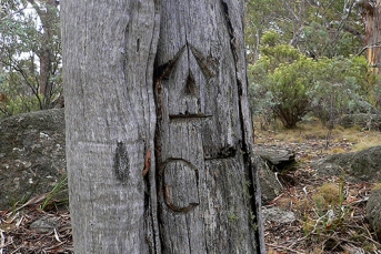 The original Mouat Tree in situ prior to its relocation to the Namadgi National Park Visitor Information Centre (Image courtesy of Matthew Higgins).